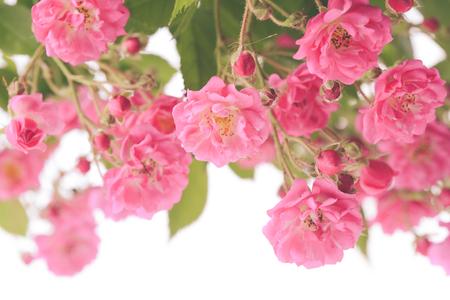 rose bush: Pink rose bush isolated on white background
