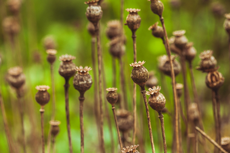 opiate: Dry poppy plant in the garden close up
