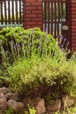 rockery: Lavender on rockery with rocks and evergreen plants