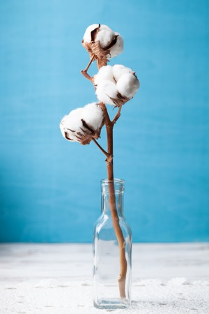 Cotton flower close up on blue background 스톡 콘텐츠