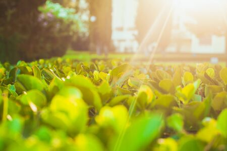 green plants: Growing green tea bushes background under sunrise