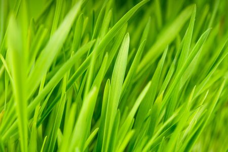background summer: Green grass close up as a bacgkround Stock Photo