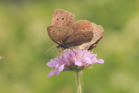 copulation: A pair of brown butterfly resting on a pink flower