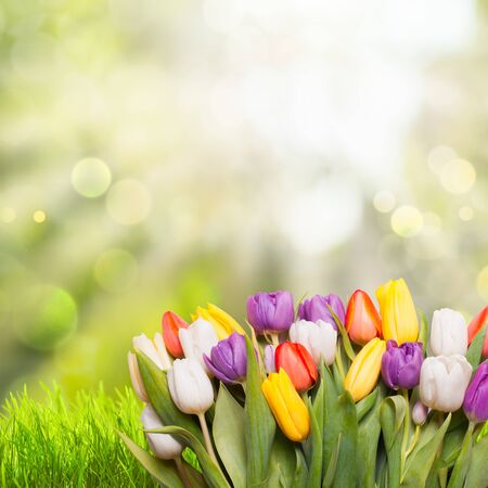 tulips in green grass: Spring background with green grass and tulips over defocused light