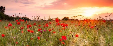 Champ de blé aux coquelicots et paysage du coucher du soleil. Belle vue de l'été nature avec des fleurs sauvages