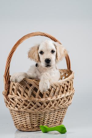 lug: Golden retriever puppy