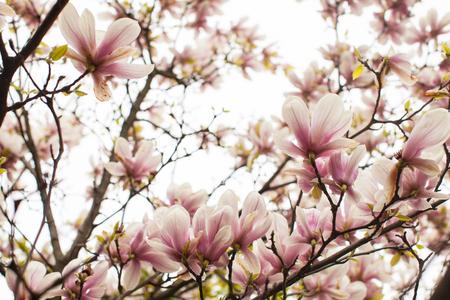꽃 목련 liliflora