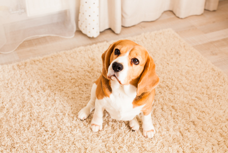 The Beagle sits on the  carpet and looks