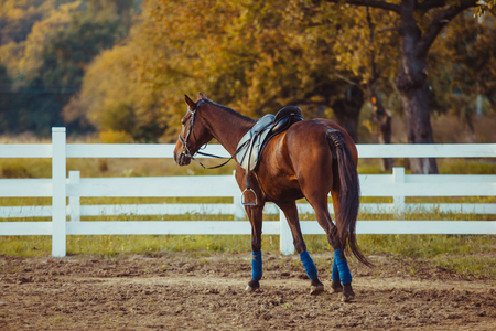 A beautiful brown horse is walking around the farm