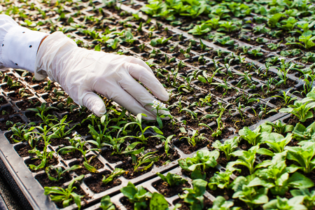Young woman biologist reseaches the sprout in greenhouse Banque d'images