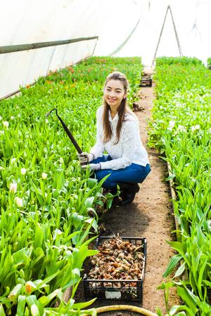 Gardener works with tulips