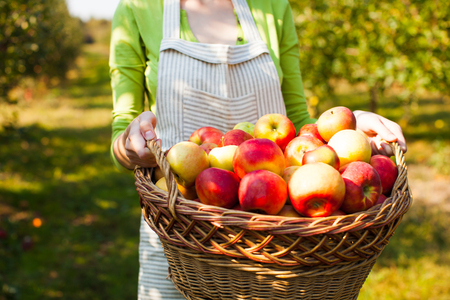Young Woman holds basket with organic Apples