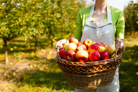Young Woman holds woven basket with apples Stock Photo