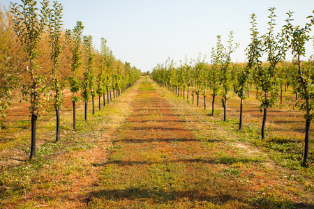 View of young apple trees growing in straight rows