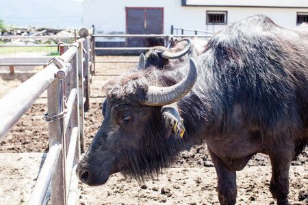 Buffaloes in a dairy farm in the sunny day