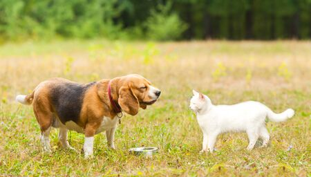 Beagle dog meet a white angora cat Banque d'images - 130092164