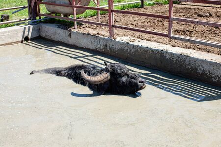 Buffaloes in a dairy farm take a bath Stockfoto