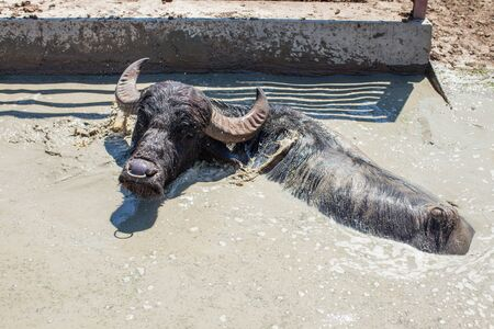 Buffalo bathes on a hot day in the summer in farm. The dairy farm is specialized in buffalo yoghurt and cheese production.