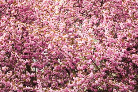 Beautiful sakura blossoms close up as a pattern flower background