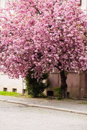 Beautiful sakura blossoms on the tree at the street of old town