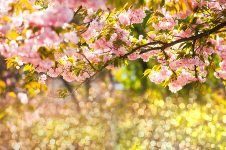 Beautiful sakura blossoms over defocused light background. Spring flowers frame for design, place for text