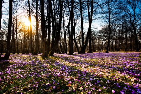 Spring saffron and grass carpet in the park. Beautiful nature flowers for inspiration. Planet Earth, flower blossom on the sunset