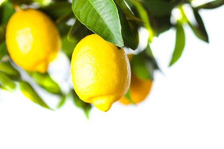 Lemon fruits close up with green leaves