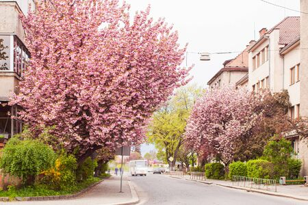 Blossoming pink sakura trees on the streets of city