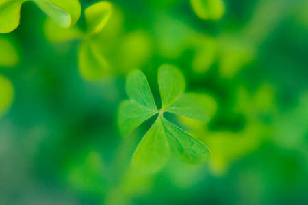 Lucky symbol - clover leave. Few bright green clover leaves on blured green background. Mockup for design and copy space. Saint Patrick day symbol