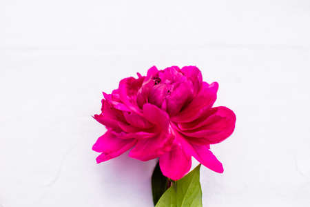 Strong and perfect bud of peony petals