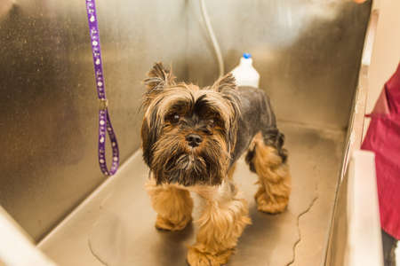 Cute little yorkshire terrier puppy is ready to be washed