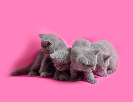 The playful gray kittens on the pink background Stockfoto