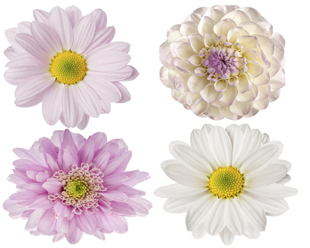 pink flowers on a white background for design