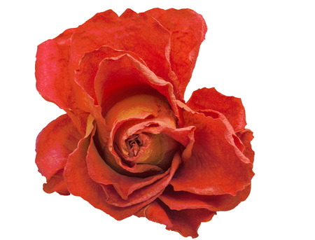 dry red rose on a white background Archivio Fotografico