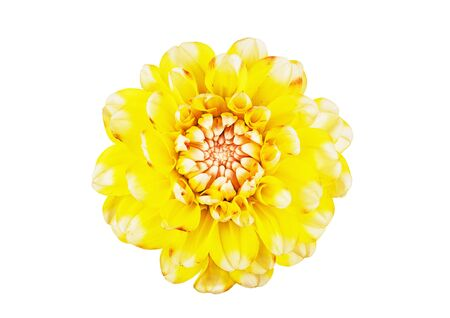 yellow dahlia flower close-up on a white background Stockfoto