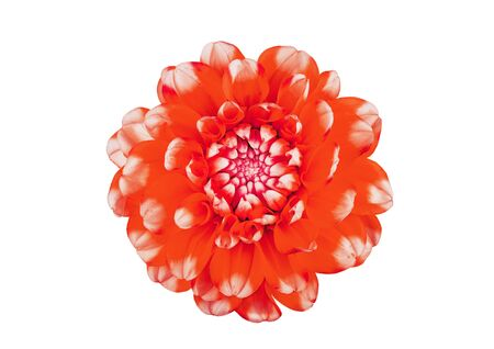 red dahlia flower close-up on a white background Stockfoto