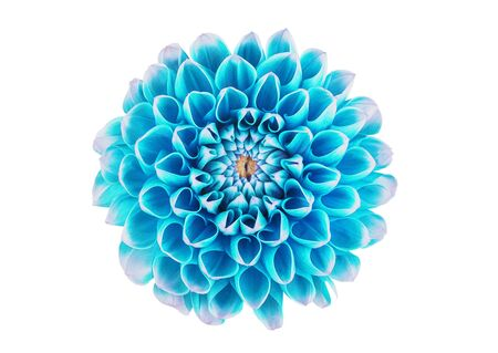 dahlia flower on a white background in isolation for designers Stockfoto