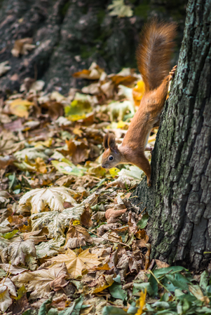 red squirrel: Wild red squirrel on a tree in the Park in autumn
