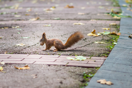 red squirrel: Red squirrel holding a nut in his mouth in the autumn park