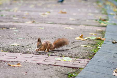 red squirrel: Red squirrel holding a nut in the autumn park