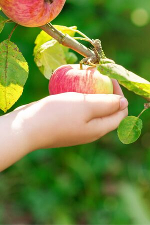 Close up of hand of child holding red apple on the brunch of tree. Apple harvesting.