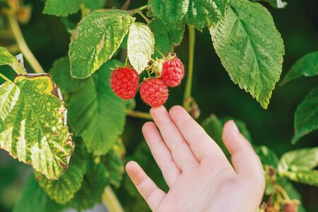 Hand of child touching red ripe raspberries in garden. Harvesting raspberries by a child. Raspberry harvest. Stok Fotoğraf