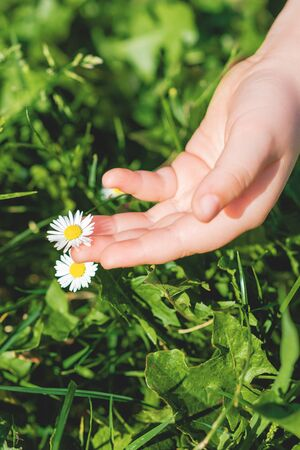 Close up of daisy or chamomile flower and hand of child touching it outdoors. Selective focus. Summer time.