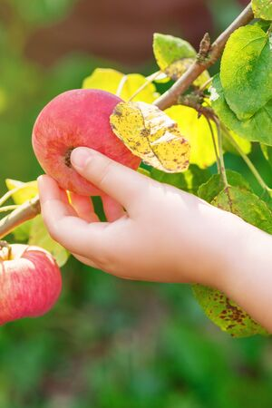 Closeup image of child hand picking fresh red apple from tree branch in the garden. Apple harvest. Stok Fotoğraf
