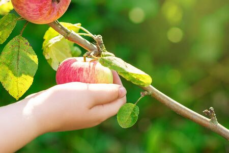 Close up of hand of child picking red ripe apple on a tree in a garden. Apple harvest.