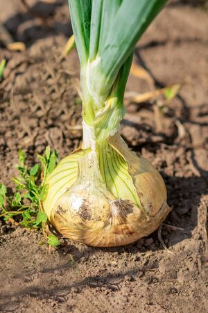 A onion growing in the dry soil in the vegetable garden.