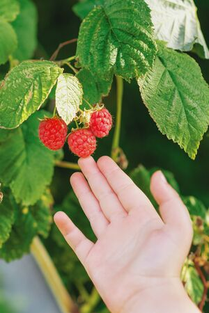Close up of small hand of child touching red raspberries on a bush during the berry harvest. Harvesting raspberries by a child.