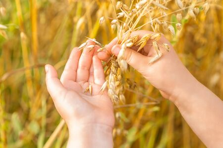 Close up of hands of child holding the ears of oats in the field in summer. Stok Fotoğraf