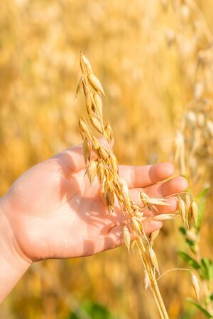 Close up of hands of child holding the ears of oats in the field in summer.