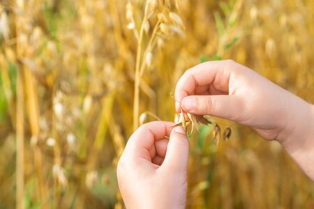 Hands of child holding the ears of oats in the field in summer.